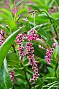 japanese indigo (polygonum tinct.)  in bloom